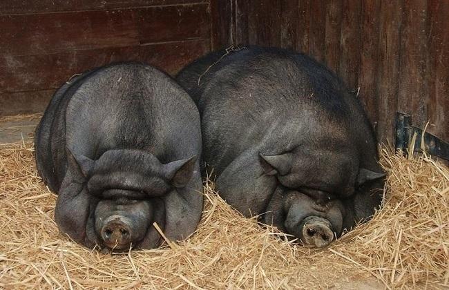 2018黑猪肉价格及市场行情