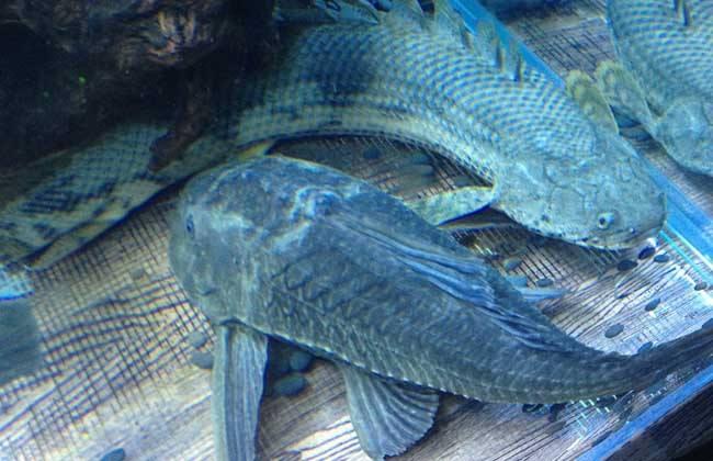 清道夫鱼能吃吗?