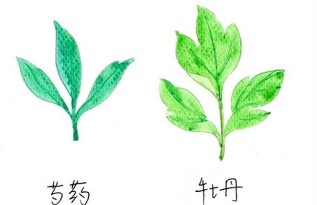 牡丹和芍药的区别