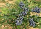 蓝莓种植一亩的成本