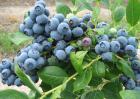 蓝莓怎么种植