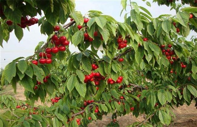 种什么果树最赚钱