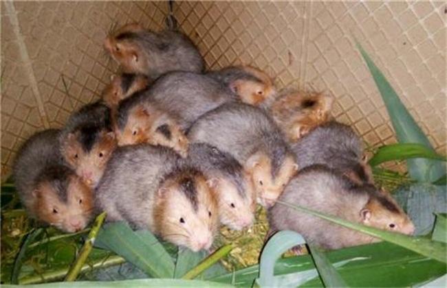 竹鼠养殖3
