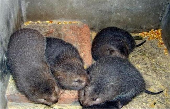 竹鼠养殖4