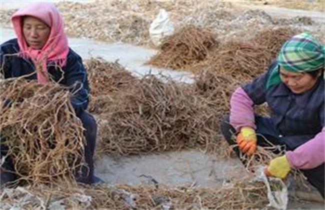 甘草的人工栽培技术