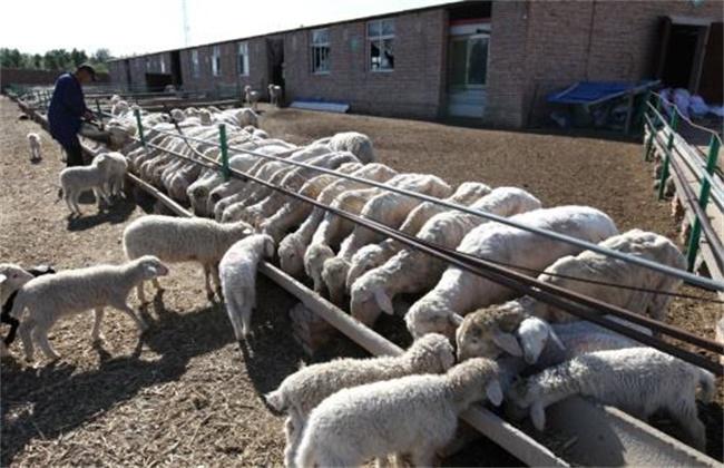 养羊的注意事项