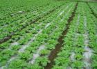 雪菜的种植时间和方法