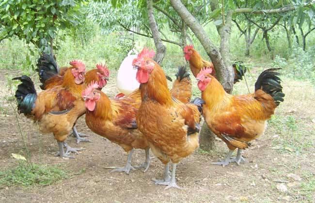 林下养鸡什么品种好