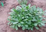 救心菜的种植方法