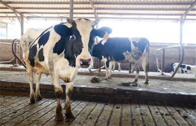 奶牛养殖常见的几大误区