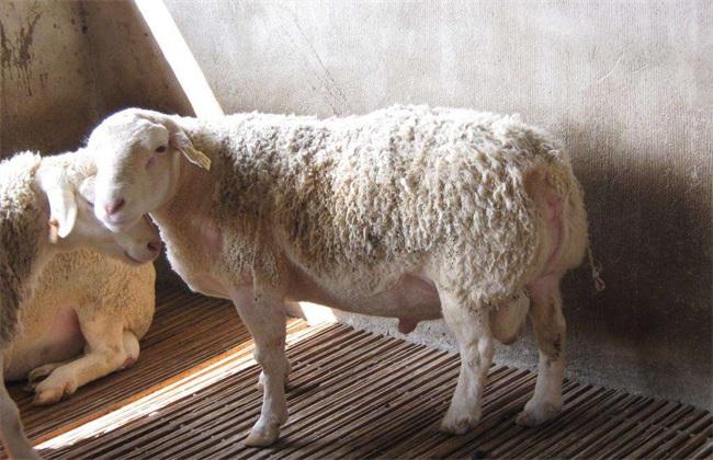 母羊 流产 原因