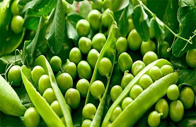 怎样种植豌豆