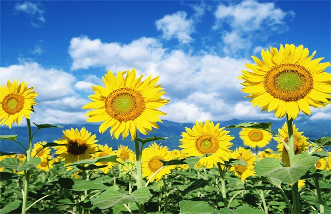 向日葵 条件 种植