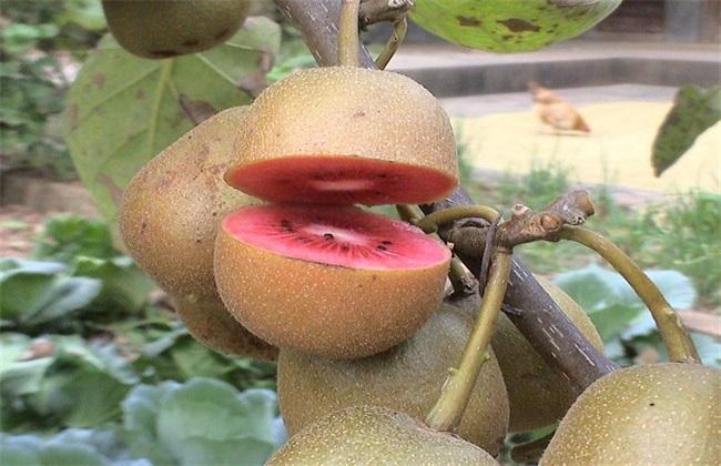 落果 猕猴桃 原因