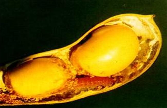 大豆常见病虫害防治方法