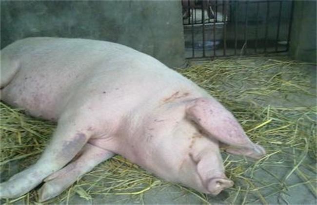 母猪产后不食或厌食的原因及防治措施