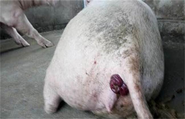 猪脱肛的原因及防治措施