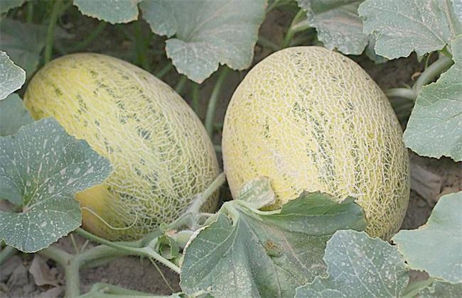 如何提高哈密瓜的产量