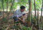 竹笋的种植技术