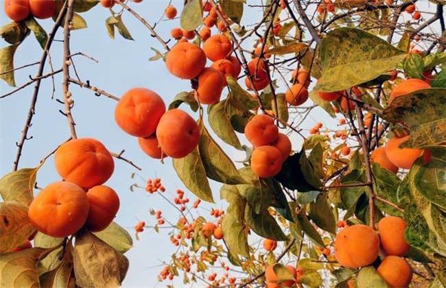 柿子 技术 施肥