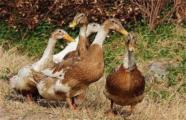 蛋鸭 注意事项 产蛋期