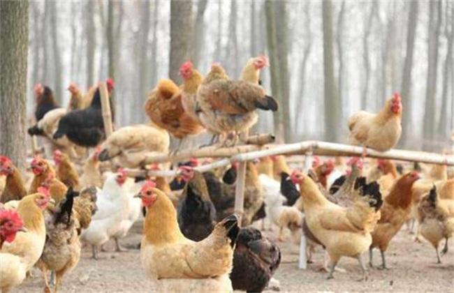养鸡 夏季 注意事项