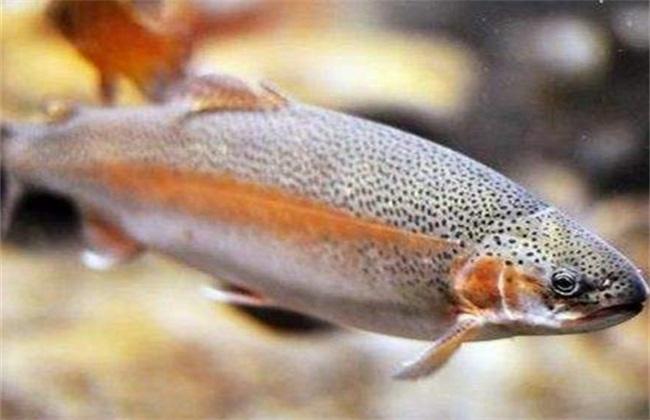 虹鳟鱼 病害 防治