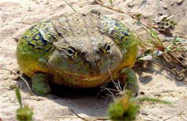 牛蛙越冬注意事项