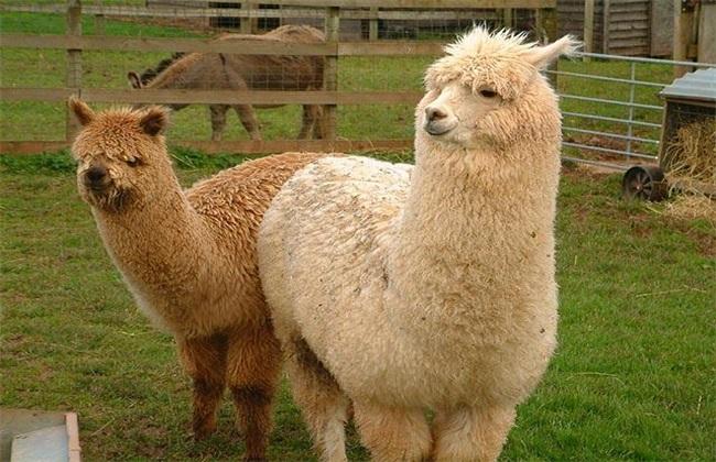 农村创业项目:羊驼的养殖前景如何?