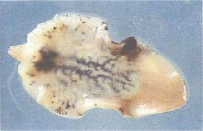 肉牛养殖常见的寄生虫症状及防治方法