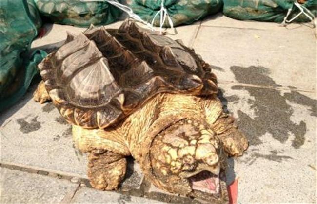 养什么品种龟赚钱