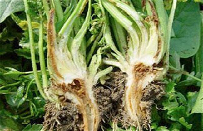 芹菜烂心的原因及防治方法