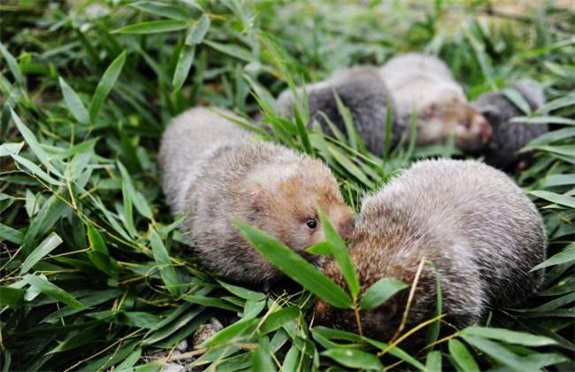 养殖 竹鼠 注意事项