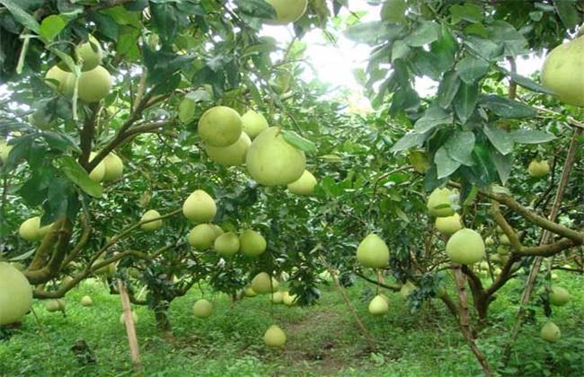 高产 柚子 栽培技术