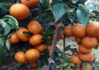 沃柑种植前景