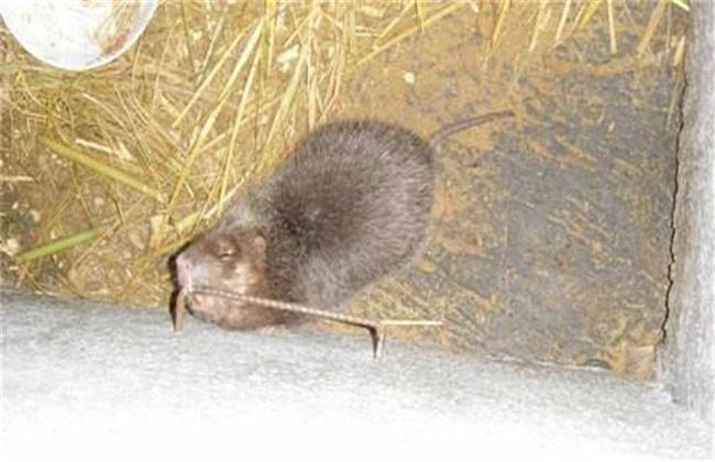 母竹鼠产仔前后的注意事项