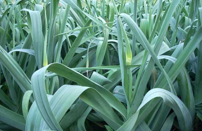 大蒜的种植时间和方法