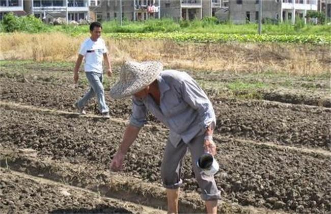 大白菜的种植时间和方法