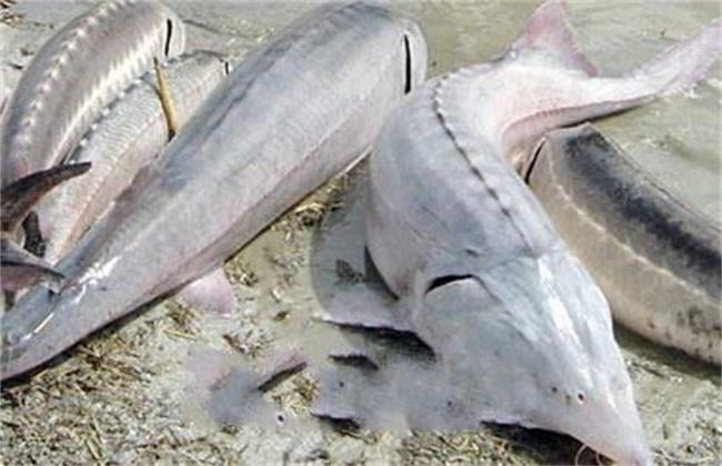 鲟鱼常见病害的症状及防治方法