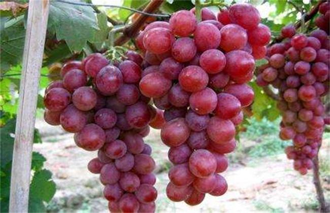 葡萄 原因 上色失败
