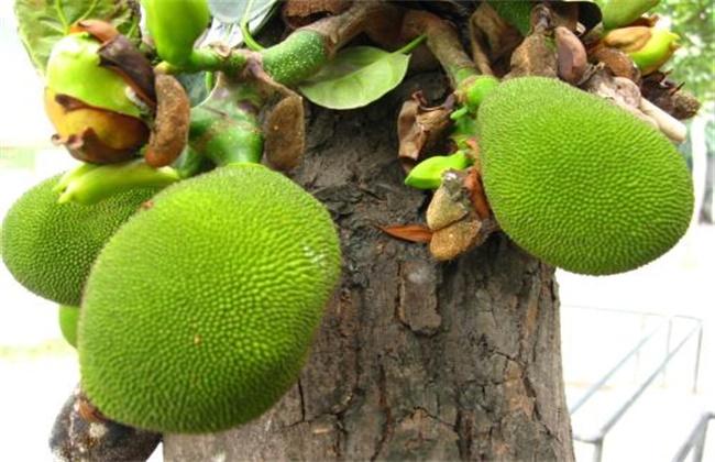菠萝蜜裂果的原因及预防措施