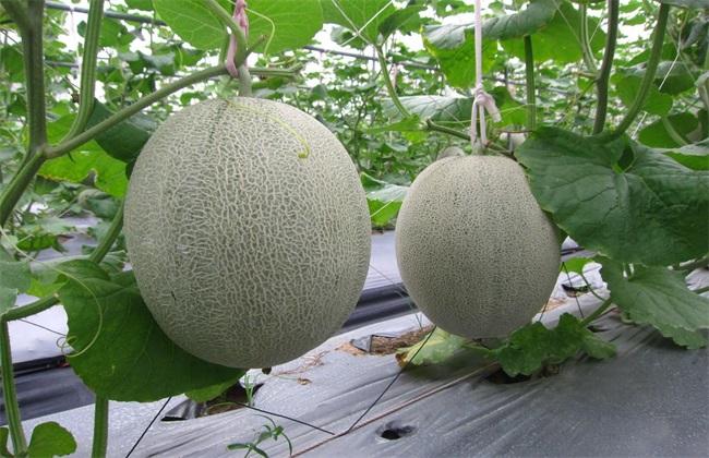 种植哈密瓜的田间管理