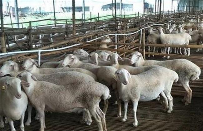 羔羊 要点 管理