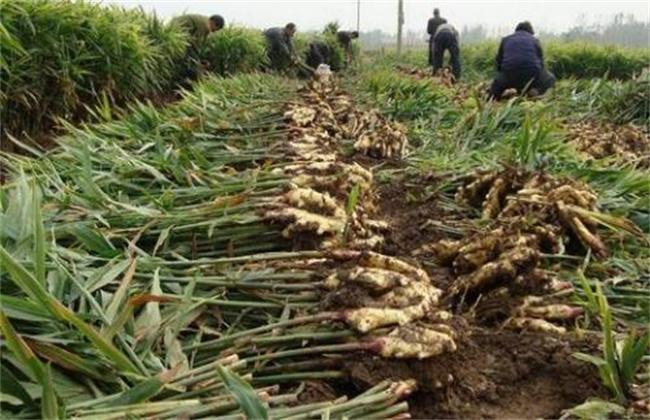 生姜种植如何提高产量