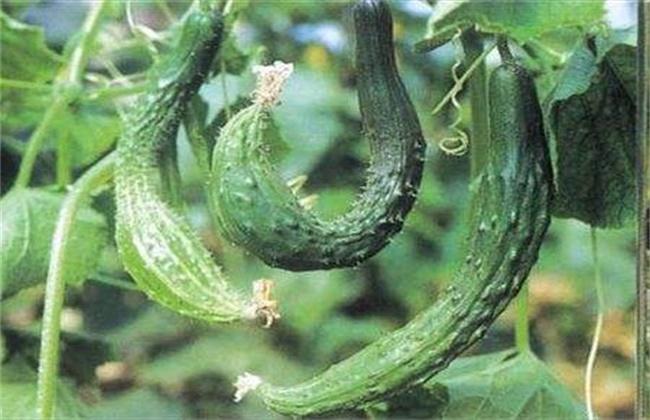 黄瓜弯曲的原因及解决方法