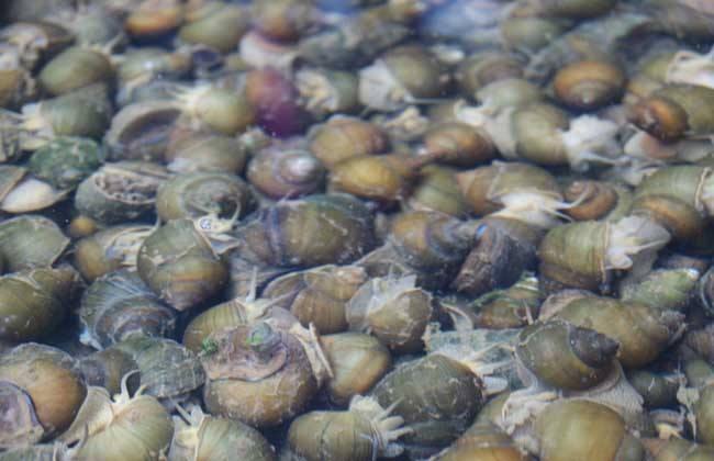 螺蛳 人工养殖 方法
