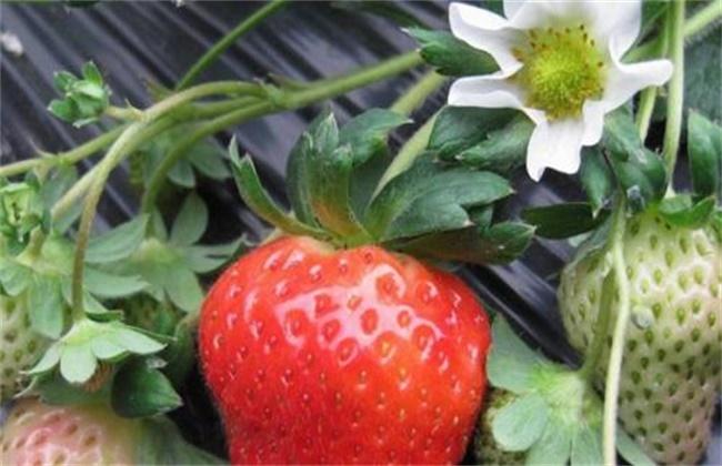 牛奶草莓的种植技术