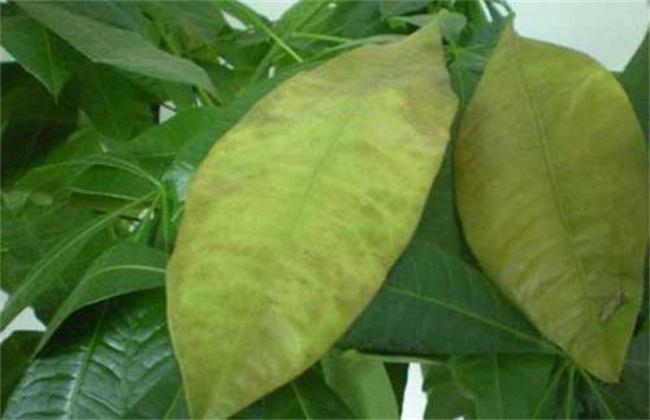 发财树叶子发黄的原因及防治