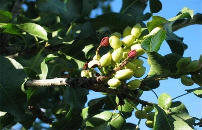 开心果 果园管理 种植