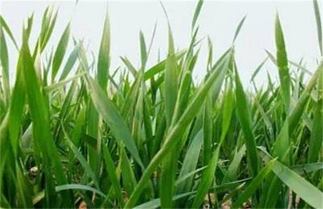 黄叶 小麦 原因